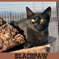 Adopt A Pet :: BLACKPAW - Alamogordo, NM