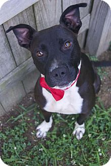 Pit Bull Terrier/Labrador Retriever Mix Dog for adoption in Media, Pennsylvania - Hemi