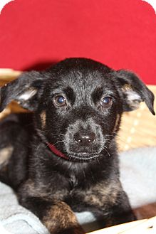 Labrador Retriever/Retriever (Unknown Type) Mix Puppy for adoption in Waldorf, Maryland - Tasha