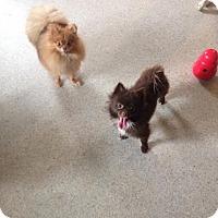 Adopt A Pet :: Coco - selden, NY