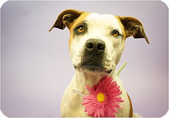 Pit Bull Terrier/Boxer Mix Dog for adoption in Phoenix, Arizona - BG