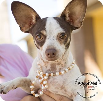 Chihuahua Dog for adoption in Inland Empire, California - NICHOLAS