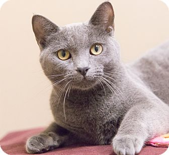 Russian Blue Cat for adoption in Chicago, Illinois - Stasia