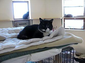 Domestic Shorthair Cat for adoption in Quincy, Massachusetts - Felix