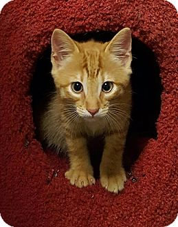 Domestic Shorthair Kitten for adoption in Monroe, North Carolina - Ryder