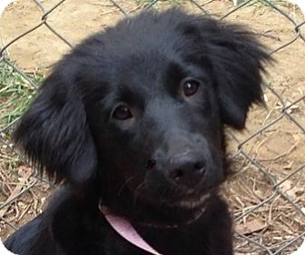 Spaniel (Unknown Type)/Flat-Coated Retriever Mix Dog for adoption in Hagerstown, Maryland - Annabelle