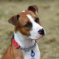 Adopt A Pet :: Paulie - Westminster, MD