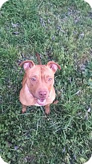 Pit Bull Terrier Mix Dog for adoption in Weatherford, Texas - Athena