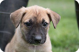 Labrador Retriever/Mixed Breed (Large) Mix Puppy for adoption in Spokane, Washington - Charlie