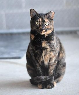 Domestic Shorthair/Domestic Shorthair Mix Cat for adoption in Philadelphia, Pennsylvania - Raven