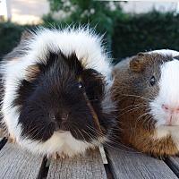 Adopt A Pet :: Karasu & Rhode - Fullerton, CA