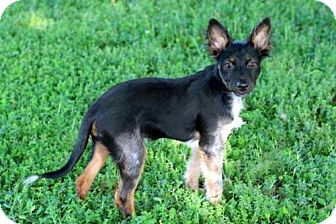 Australian Cattle Dog Mix Puppy for adoption in Andover, Connecticut - PUPPY GROOT