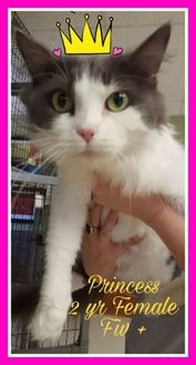 Domestic Longhair/Domestic Shorthair Mix Cat for adoption in Davenport, Iowa - Princess