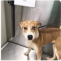 Adopt A Pet :: GRETA--URGENT - Springfield, MA