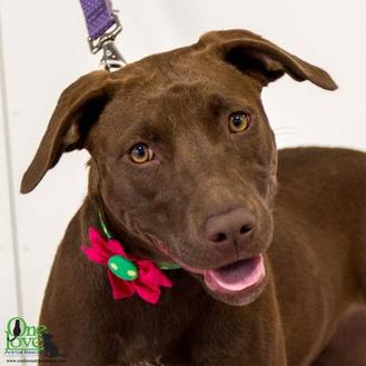 Labrador Retriever Mix Dog for adoption in Savannah, Georgia - Perkins