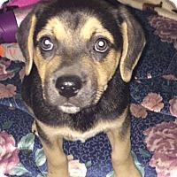 Adopt A Pet :: Bear - Woodstock, GA