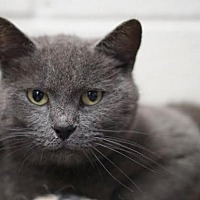 Domestic Shorthair Cat for adoption in Rocky Mount, Virginia - Charcoal Porter