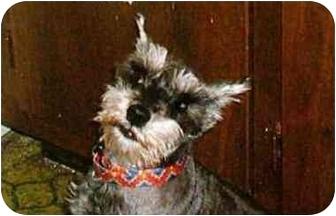 Schnauzer (Standard) Dog for adoption in Cincinnati, Ohio - Tiffany Marie