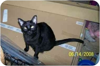 Domestic Shorthair Cat for adoption in Fort Worth, Texas - Dolly- adopt me :)