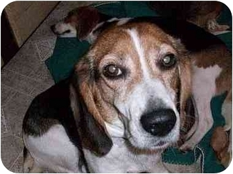 Beagle Dog for adoption in Ventnor City, New Jersey - TAYLOR