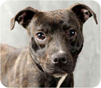 American Pit Bull Terrier Mix Dog for adoption in Chicago, Illinois - Little Girl