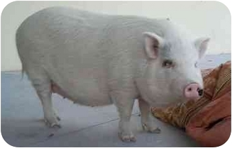 Pig (Potbellied) for adoption in Las Vegas, Nevada - Remmie