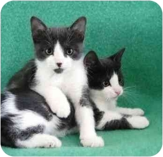 Domestic Shorthair Kitten for adoption in Port Hope, Ontario - Badger&Chipmunk