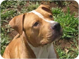 Mastiff/American Pit Bull Terrier Mix Dog for adoption in Salem, Oregon - URGENT:CLYDE NEEDS FOSTER HOME