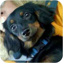Dachshund Mix Puppy for adoption in Warsaw, Indiana - Portia