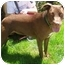 Photo 2 - Labrador Retriever/American Pit Bull Terrier Mix Dog for adoption in Berkeley, California - Charlotte