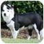 Photo 2 - Australian Shepherd Mix Dog for adoption in San Pedro, California - PEBBLES