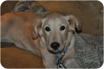 Golden Retriever Dog for adoption in Denver, Colorado - Kellie