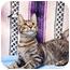 Photo 1 - Domestic Shorthair Cat for adoption in Houston, Texas - Jefferson