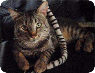 Domestic Shorthair Cat for adoption in Snohomish, Washington - Tommy