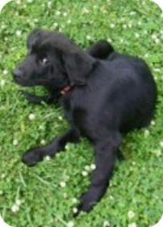 Newfoundland/Labrador Retriever Mix Puppy for adoption in Oswego, Illinois - I'M ADOPTED Gunner Hurst