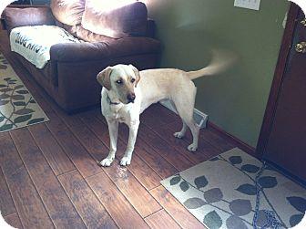 Labrador Retriever Dog for adoption in Massillon, Ohio - RILEY