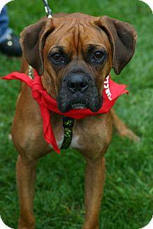 Boxer Dog for adoption in berwick, Maine - Rocky