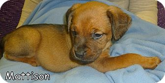 Boxer Mix Puppy for adoption in Georgetown, South Carolina - Mattison