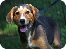 Beagle/Border Collie Mix Puppy for adoption in Brattleboro, Vermont - Rupert ($200 adoption fee)