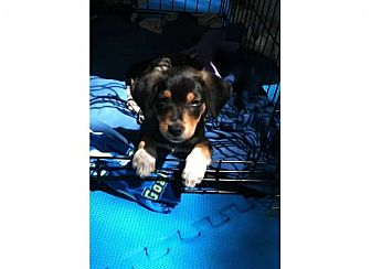 Terrier (Unknown Type, Small) Mix Puppy for adoption in Kalamazoo, Michigan - Olive - Christine
