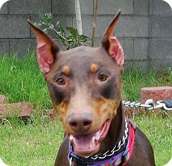 Doberman Pinscher Dog for adoption in Las Vegas, Nevada - Maggie