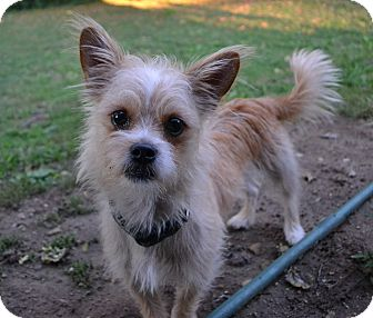 Shih Tzu/Terrier (Unknown Type, Small) Mix Dog for adoption in Troy, Ohio - Spud~Adopted!