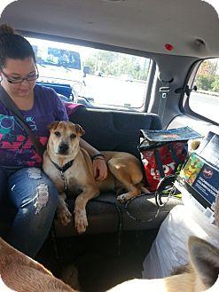 Labrador Retriever/Shar Pei Mix Dog for adoption in Treton, Ontario - Shawn