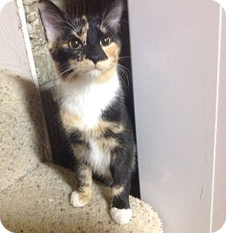Domestic Shorthair Kitten for adoption in Des Moines, Iowa - Lily