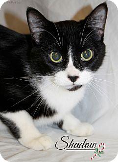 Domestic Shorthair Cat for adoption in Midland, Michigan - Shadow *NO FEE*