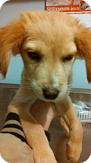 Golden Retriever/Spaniel (Unknown Type) Mix Puppy for adoption in Hammonton, New Jersey - malibu