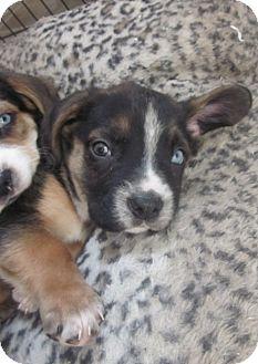 Basset Hound Mix Puppy for adoption in Hainesville, Illinois - Schroeder