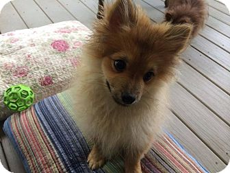 Pomeranian Puppy for adoption in Charlotte, North Carolina - Reese