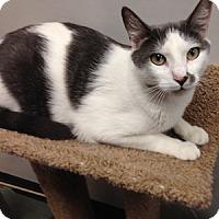 Adopt A Pet :: Meatball - Gilbert, AZ