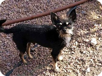 Terrier (Unknown Type, Small)/Miniature Pinscher Mix Dog for adoption in Las Vegas, Nevada - Klaus